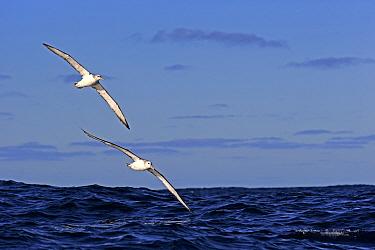 Shy Albatross (Thalassarche cauta) adult pair, in flight low over sea, Cape of Good Hope, Western Cape, South Africa, June  -  Jurgen and Christine Sohns/ FLPA