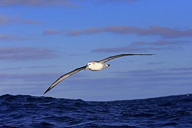 Shy Albatross (Thalassarche cauta) adult, in flight low over sea, Cape of Good Hope, Western Cape, South Africa, June  -  Jurgen and Christine Sohns/ FLPA