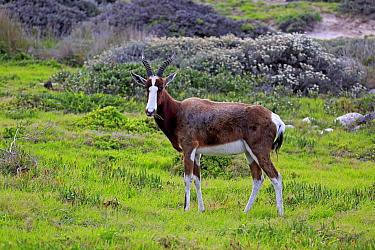 Bontebok (Damaliscus pygargus pygargus) adult, feeding, standing on fynbos, Table Mountain National Park, Cape of Good Hope, Western Cape, South Africa, June  -  Jurgen and Christine Sohns/ FLPA
