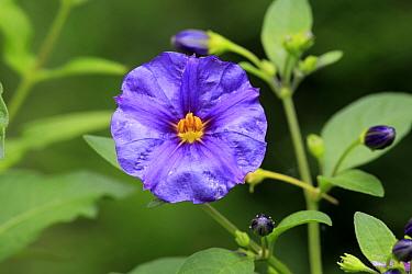 Blue Potato Bush (Solanum rantonnetii) close-up of flower, growing in garden, Germany, August  -  Jurgen and Christine Sohns/ FLPA