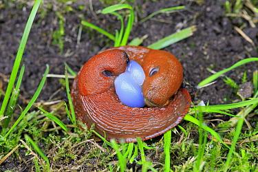 Spanish Slug (Arion vulgaris) introduced species, adult pair, mating, Germany, September  -  Jurgen and Christine Sohns/ FLPA