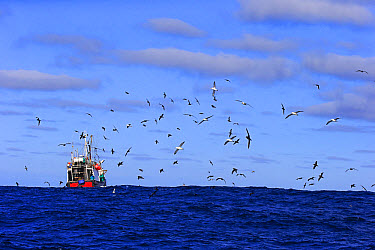 Trawler fishing at sea, being followed by seabirds, including albatrosses and petrels, Cape of Good Hope, Western Cape, South Africa, June  -  Jurgen and Christine Sohns/ FLPA