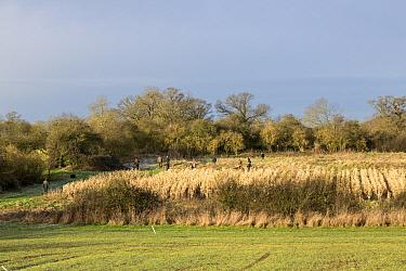 Shoot beaters flushing Pheasants from maize cover crop.Suffolk  -  David Hosking/ FLPA