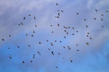 Winter flock of Wood Pigeons  -  David Hosking/ FLPA