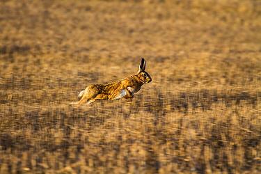 Brown Hare running over stubble field  -  David Hosking/ FLPA