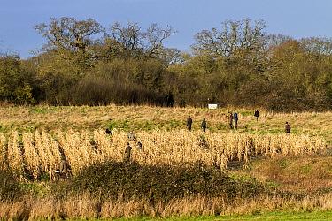 Shoot beaters flushing Pheasants from maize cover crop, Suffolk January  -  David Hosking/ FLPA