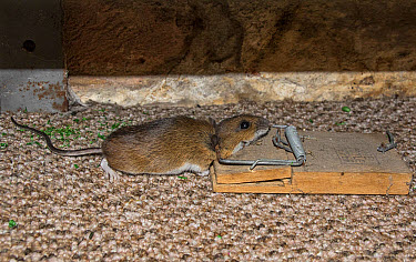 Yellow necked mouse caught in mouse trap  -  David Hosking/ FLPA