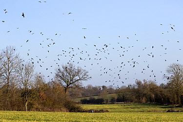Rooks (Corvus frugilegus) winter flock, in flight over Suffolk farmland  -  David Hosking/ FLPA