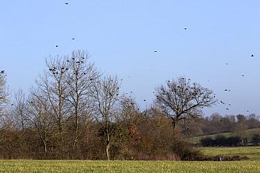 Rooks (Corvus frugilegus) winter flock, in flight and gathering on trees on Suffolk farmland  -  David Hosking/ FLPA