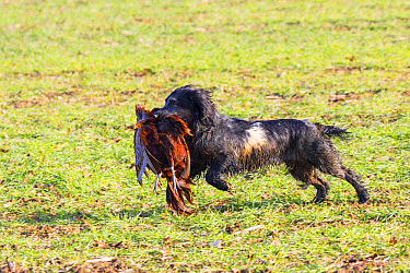 Working cocker spaniel (blue roan) carrying cock pheasant  -  David Hosking/ FLPA