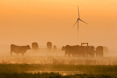 Domestic Cattle, cows and calves, herd standing in grazing marsh habitat at sunrise, with wind turbine in distance, Elmley Marshes N.N.R., North Kent Marshes, Isle of Sheppey, Kent, England, April  -  Robert Canis/ FLPA