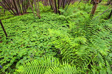 Herb Paris (Paris quadrifolia) flowering mass, growing amongst ferns in coppice woodland habitat, Kent, England, May  -  Robert Canis/ FLPA