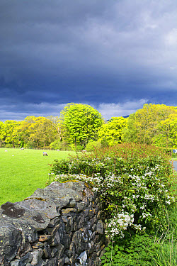 Drystone wall and Hawthorn (Crataegus sp) flowering in hedgerow, with sheep grazing in pasture and rainclouds, Sedbergh, Cumbria, England, May  -  Wayne Hutchinson/ FLPA
