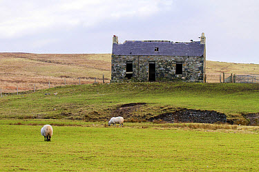 Derelict croft often used by nesting chough's or Jackdaws on the Isle of Islay Scotland  -  David Hosking/ FLPA