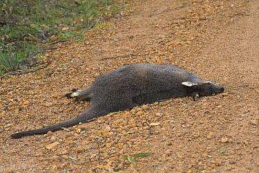 Western Brush Wallaby (Macropus irma) adult, dead road casualty, Stirling Range National Park, Western Australia, Australia  -  Krystyna Szulecka/ FLPA