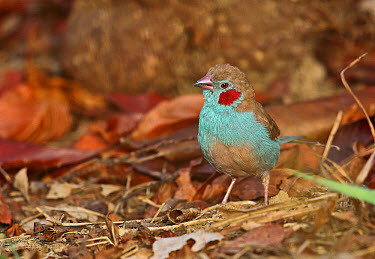 Red-cheeked Cordon-bleu (Uraeginthus bengalus bengalus) adult male, standing on ground, Mole National Park, Ghana, February  -  Neil Bowman/ FLPA