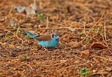 Red-cheeked Cordon-bleu (Uraeginthus bengalus bengalus) adult male, feeding on ground, Mole National Park, Ghana, February  -  Neil Bowman/ FLPA