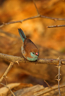 Red-cheeked Cordon-bleu (Uraeginthus bengalus bengalus) adult female, perched on twig, Mole National Park, Ghana, February  -  Neil Bowman/ FLPA