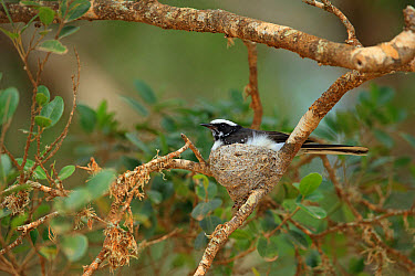 White-browed Fantail (Rhipidura aureola) adult, sitting in nest on twig, Sri Lanka, February  -  Robin Chittenden/ FLPA