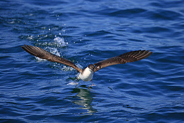 Great Shearwater (Puffinus gravis) adult, taking off from surface of sea, Morocco, November  -  Robin Chittenden/ FLPA
