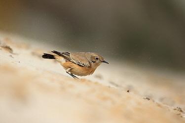 Desert Wheatear (Oenanthe deserti) immature female, first winter plumage, vagrant standing on sand, Norfolk, England, November  -  Robin Chittenden/ FLPA