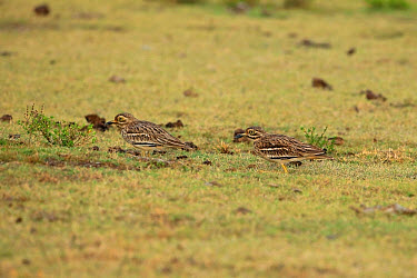 Indian Stone-curlew (Burhinus indicus) adult pair, sitting on grass, Sri Lanka, February  -  Robin Chittenden/ FLPA