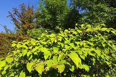 Japanese Knotweed (Fallopia japonica) introduced invasive species, flowering, West Yorkshire, England, September  -  Paul Miguel/ FLPA