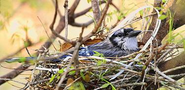 Blue Jay (Cyanocitta cristata) adult, sitting on nest during rainfall, Florida, U.S.A., April  -  Edward Myles/ FLPA