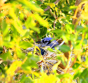 Blue Jay (Cyanocitta cristata) adult, sitting on nest, amongst West Indian Mahogany (Swietenia mahogoni) leaves, Florida, U.S.A., April  -  Edward Myles/ FLPA