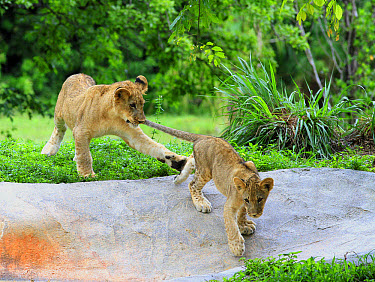 Lion (Panthera leo) two cubs, cub playing with tail of other cub (captive)  -  Edward Myles/ FLPA
