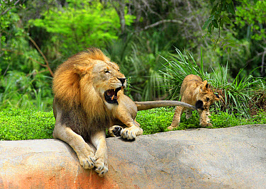 Lion (Panthera leo) adult male and cub, cub playing with tail of adult male (captive)  -  Edward Myles/ FLPA