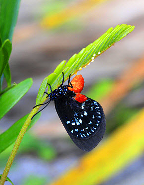 Atala (Eumaeus atala) adult female, laying eggs on leaf, Florida, U.S.A., December  -  Edward Myles/ FLPA