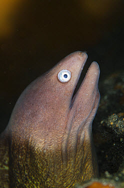 White-eyed Moray (Siderea thyrsoidea) adult, close-up of head, Lembeh Straits, Sulawesi, Greater Sunda Islands, Indonesia, February  -  Colin Marshall/ FLPA