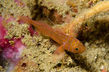 Ribbon Reefgoby (Priolepis vexilla) adult, Kareko Batu, Lembeh Straits, Sulawesi, Greater Sunda Islands, Indonesia, February  -  Colin Marshall/ FLPA