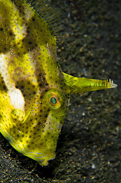 Strapweed Filefish (Pseudomonacanthus macrurus) adult, close-up of head, on black sand at night, Lembeh Straits, Sulawesi, Greater Sunda Islands, Indonesia, February  -  Colin Marshall/ FLPA