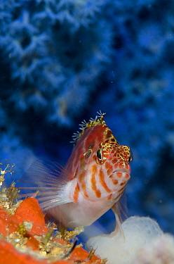 Threadfin Hawkfish (Cirrhitichthys aprinus) adult, in front of Blueberry Gorgonian (Acalycigorgia sp), Batu Kapal, Lembeh Straits, Sulawesi, Greater Sunda Islands, Indonesia, February  -  Colin Marshall/ FLPA