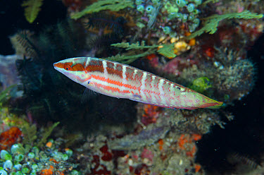 Pale-barred Coris (Coris dorsomacula) adult, swimming, Batu Kapal, Lembeh Straits, Sulawesi, Greater Sunda Islands, Indonesia, February  -  Colin Marshall/ FLPA