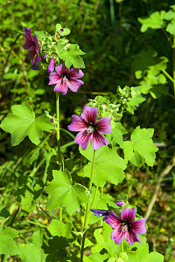 Common Mallow, Malva sylvestris, flowering on wasteland in Sorrento, Italy, May  -  Nigel Cattlin/ FLPA
