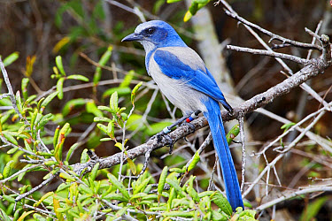 Florida Scrub Jay (Aphelocoma coerulescens) adult, with coloured bands on legs, perched on branch, Oscar Scherer State Park, Sarasota County, Florida, U.S.A., February  -  Kevin Elsby/ FLPA