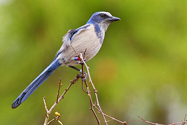 Florida Scrub Jay (Aphelocoma coerulescens) adult, with coloured bands on legs, perched on twig, Oscar Scherer State Park, Sarasota County, Florida, U.S.A., February  -  Kevin Elsby/ FLPA