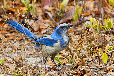 Florida Scrub Jay (Aphelocoma coerulescens) adult, with coloured bands on legs, standing on ground, Oscar Scherer State Park, Sarasota County, Florida, U.S.A., February  -  Kevin Elsby/ FLPA