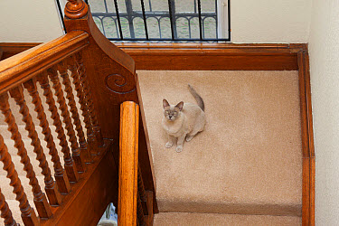Domestic Cat, Burmese, lilac, adult, sitting on staircase, England, November  -  Angela Hampton/ FLPA