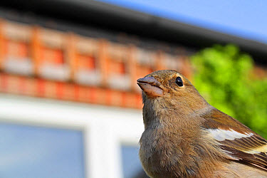 Common Chaffinch (Fringilla coelebs) adult female, close-up of head and breast, stunned after collision with house window, Mendlesham, Suffolk, England, May  -  Marcus Webb/ FLPA
