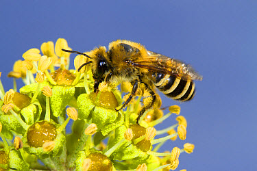 Ivy Bee (Colletes hederae) adult female, feeding on Common Ivy (Hedera helix) flowers, Seaford, East Sussex, England, October  -  Richard Becker/ FLPA