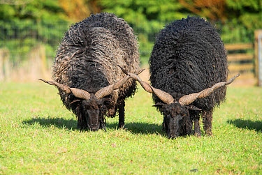 Domestic Sheep, Racka, Hungarian multi-purpose breed, two adults, grazing in pasture, Bowland Wild Boar Park, Chipping, Lancashire, England, March  -  John Eveson/ FLPA