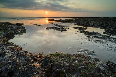 Seaweed covered rocks on beach at low tide, at sunrise, Kingsgate Bay, Broadstairs, Kent, England, August  -  Robert Canis/ FLPA