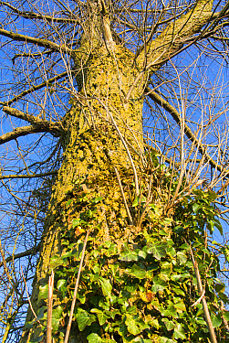 Common Ivy (Hedera helix) growing up Common Oak (Quercus robur) trunk, Norfolk, England, March  -  Gary K Smith/ FLPA