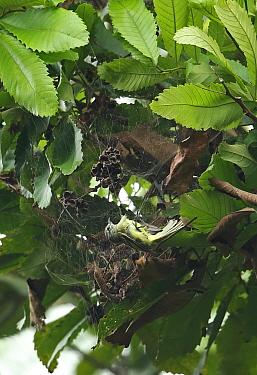 Panamanian Tyrannulet (Phylloscartes flavovirens) adult, caught in spider web, San Francisco Reserve, Darien, Panama, April  -  Neil Bowman/ FLPA