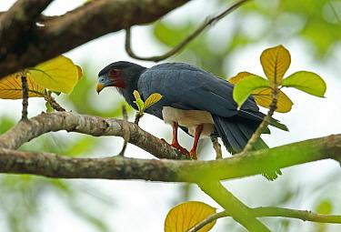 Red-throated Caracara (Ibycter americanus) adult, perched on branch, Darien, Panama, April  -  Neil Bowman/ FLPA