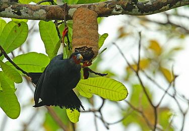 Red-throated Caracara (Ibycter americanus) adult, feeding at wasp nest in tree, Darien, Panama, April  -  Neil Bowman/ FLPA